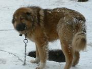 На охрану объектов сдам собак в аренду