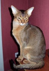 Роскошные взрослые абиссинские кот и кошка