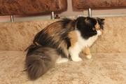 Персидская кошечка  ищет новый дом.