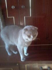 Отдам вислоухого вяжущего кота