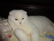 белый кот скоттиш фолд с родословной