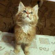 Чистокровные котята Мейн-Куны