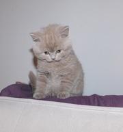 Шотландский лиловый котенок (мальчик) скоттиш страйт scottish straight
