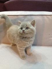 Лиловый шотландский котенок (девочка)