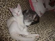 белый котик с документами- голубоглазый на вязку