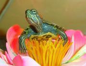 Черепаха - символ мудрости и долголетия. Доставка