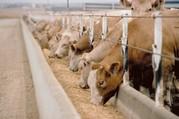 Соевый концентрат для крупного рогатого скота
