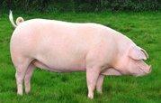 Соевый концентрат от производителя для свиней