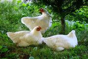 Продам соевый концентрат для птицы