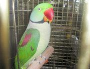 Александрийские попугаи