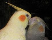 Корелла,  волнистый попугай,  Чехи,  неразлучники,  ожереловый попугай
