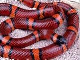 Молочные и королевские  змеи,  полозы