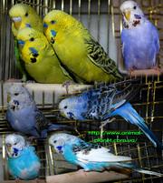 Продаём волнистых попугайчиков - Выставочные ЧЕХИ