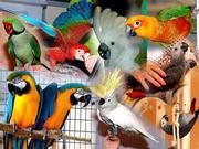 Крупные и средние попугаи (Жако,  ара,  какаду)