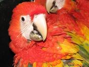Ара - экстравагантный и неординарный попугай