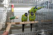 Аратинга –полностью ручные птенцы