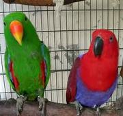 Эклектусы – ручные птенцы