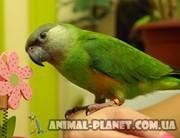 Ручные птенцы Сенегалы