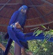 Гиацинтовый ара и Ара макао