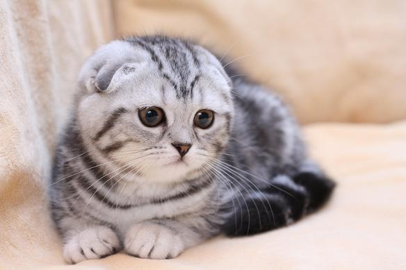 Котята редких окрасов кошки