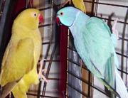 Ожереловые ручные попугаи