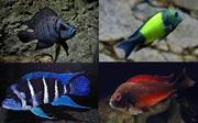 Разнообразные цихлиды озер Танганика, Малавия, Америки и другие виды рыб