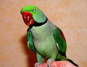 Александрийский попугай,  полностью ручные птенцы,  выкормыши