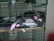 Продам крысеныша серенького с белым брюшком